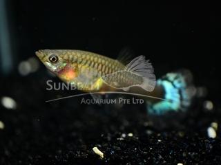 multicolor tail female guppy