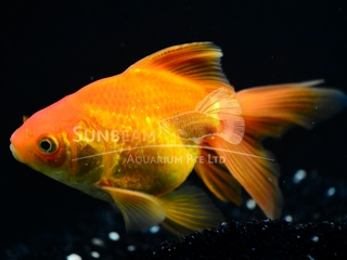 Fantail Red