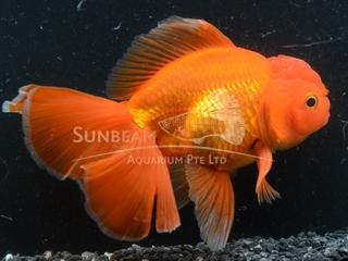 Oranda Thai Red