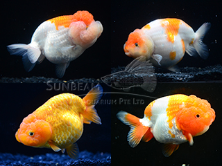 Mixed AAA Ranchu