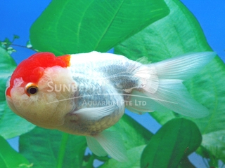 Ranchu Red Cap