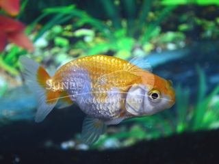 Ranchu Japanese