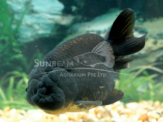 Ranchu Black