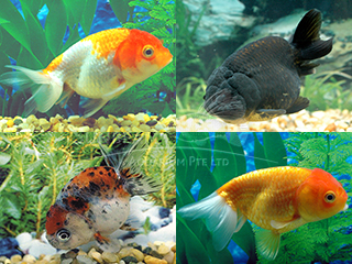 Ranchu Assorted