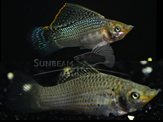 green SAILFIN molly (pairS)