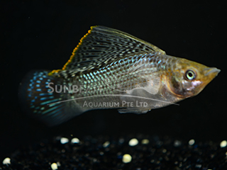 green SAILFIN molly (male)