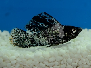 silver marble SAILFIN molly (male)