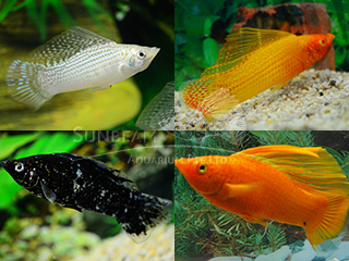 assorted sailfin molly