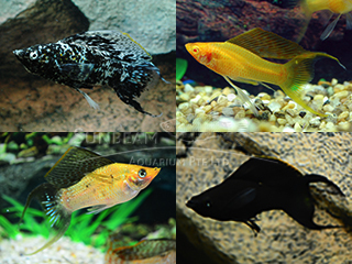 assorted sailfin lyretail molly