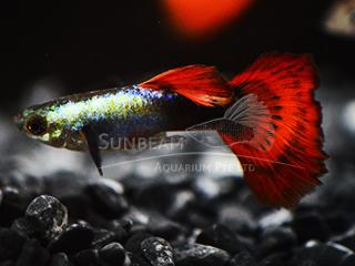 red sapphire dumbo guppy