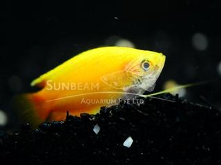 Honey Yellow Gourami