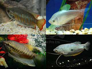 Trichogaster Assorted Gourami