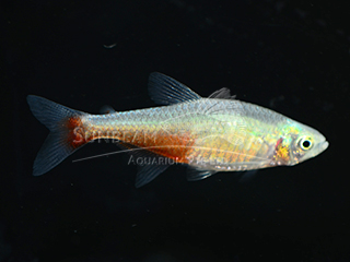 rathbun's bloodfin
