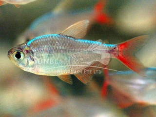 columbian red-finned TETRA