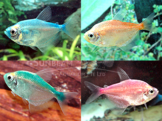 assorted rainbow tetra (art.)