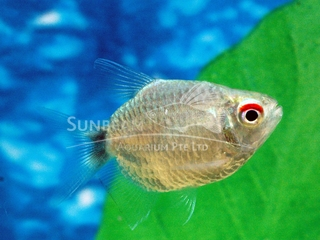 red eye balloon tetra