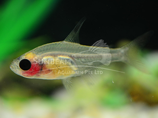 red belly PRISTELLA tetra