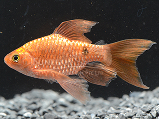 Rosy Neon Long Fin Barb