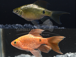 Rosy Neon Long Fin Barb Pair