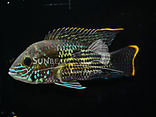 Gold Sum Cichlid