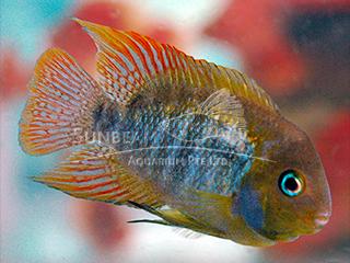 Blue Eye T Bar Cichlid
