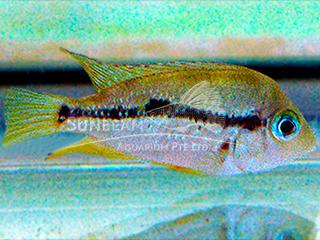 Blue Pearl Cichlid