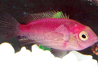 Fire Mouth Red (art.) Cichlid