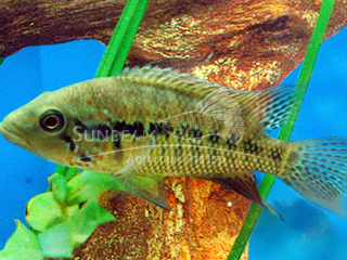 False Yellow Jacket Cichlid
