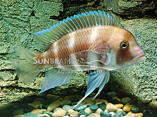 Frontosa Red Cichlid