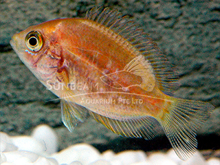 Chromide Orange Cichlid