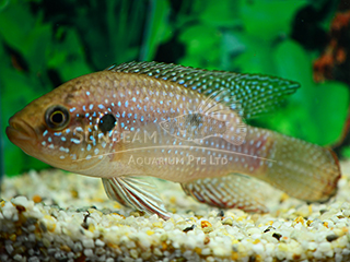 Jewel Fish Cichlid