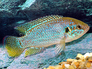 Jewel Fish Green Neon Cichlid