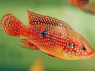 Jewel Fish Red Cichlid
