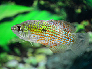 Flag Fish Cichlid