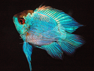Electric Blue Balloon Ram Cichlid