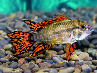 Cockatoo Super Red Cichlid PAir