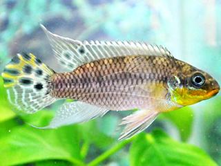 Bandiwanri Kribensis