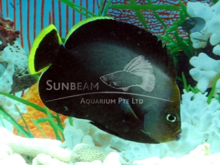 black-finned butterfly