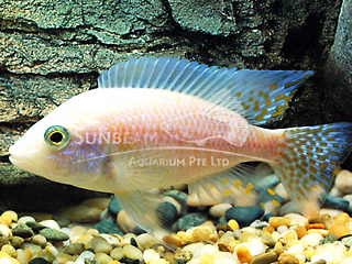 Peacock Pink Cichlid