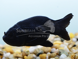 THAI BLACK RANCHU