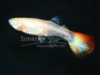 albino red eye female guppy