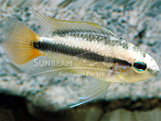 Red Tail Blue Apist Cichlid Pair