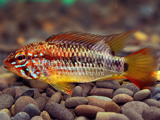 Red Neck Viejita Cichlid Pair