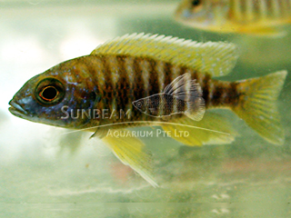 Peacock Yellow Cichlid