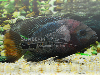 Red Head Cichlid