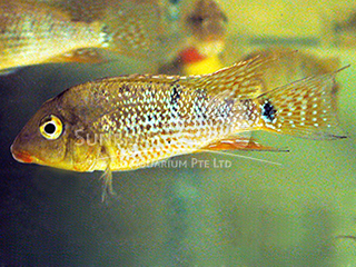 eartheater Redhump cichlid