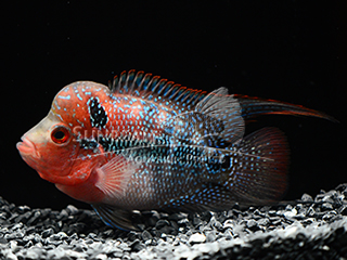 Red Strawberry Malau flower horn Cichlid