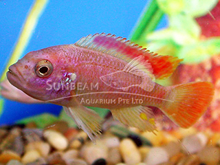 Red Top Ice Blue Albino Cichlid