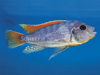 Red Top Ice Blue Cichlid