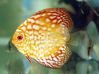 Pigeon Pearl DISCUS